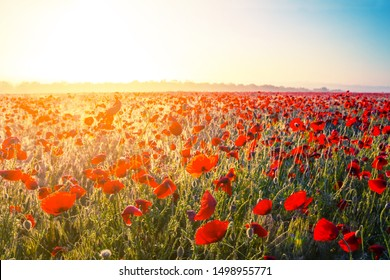 red poppy flowers in a prairie at the sunrise