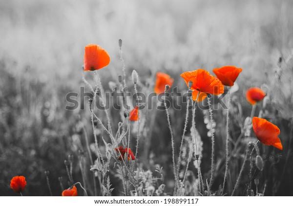 Цветы красного мака для День памяти/Воскресенье