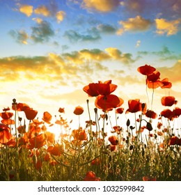 Red poppy flowers in the spring field at sunset.