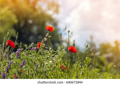 Red poppy flowers in spring on blurred background soft orange light and green grass