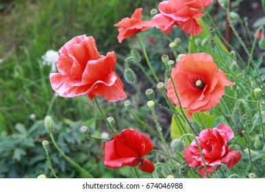 Red poppy in a garden