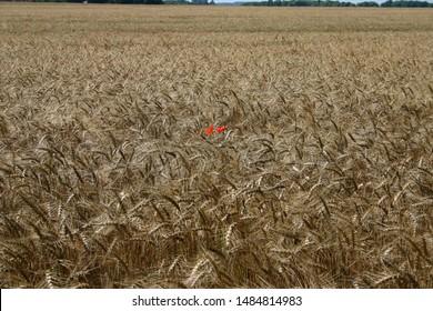 Red poppy in a german cornfield