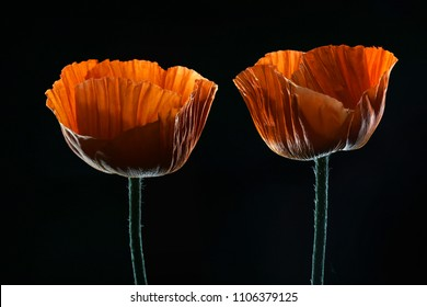 Red Poppy isolated on a black background