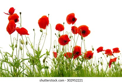 red poppy isolated on white