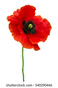 red poppy isolated on white background
