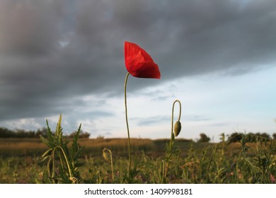 Red poppy on a background of a thundercloud