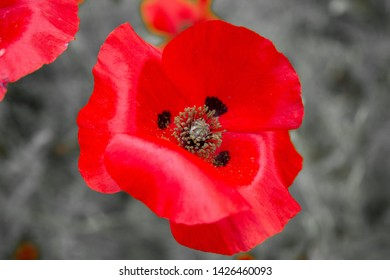 Red poppy on a black and white background symbolising the remembrance poppy inspired by the World War 1 poem In Flanders Fields.