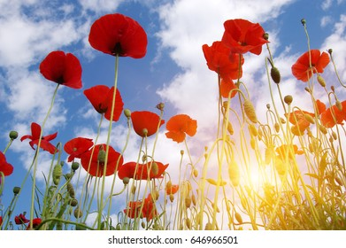 Red poppy on field and sun.