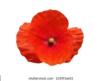 Red poppy or papaver flower isolated.