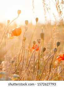 Red poppy (Papaver) flowers and poppy seed pods in the field.
