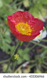 Red Poppy portrait with blurred background