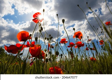 red poppy in a rays of sun