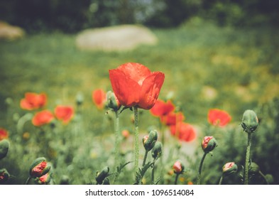 Red poppy seeds field