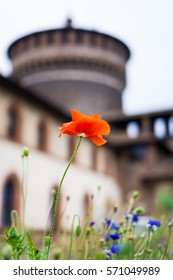 Red poppy Sforza Castle in Milan