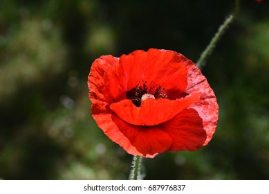 Red poppy in a sunny day