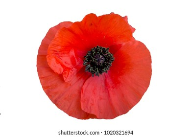 Poppy flower images stock photos vectors shutterstock red poppy with white background mightylinksfo