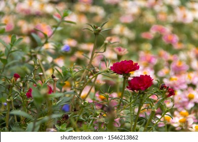 Red portulaca oleracea (common purslane, verdolaga, pursley) in field with pink flower background. It is used as traditional Chinese medical herbal (Ma Chi Xian).