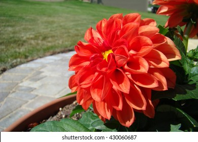 Red Potted Dahlia