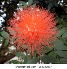 Red Powder Puff flower...