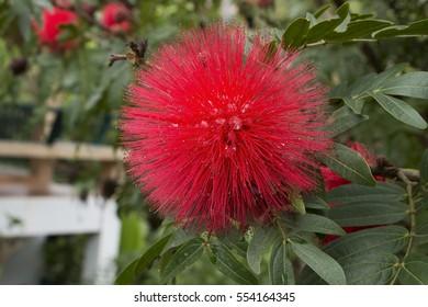 Red Powderpuff Flower