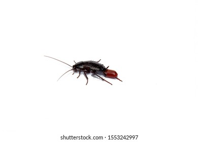 Red pregnant cockroach with an egg, on a white isolated background. Macro photo close-up