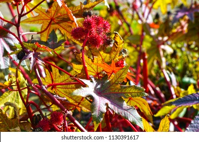 Red and prickly fruits of a Castor oil plant (Ricinus communis) in the midst of colorful autumn leaves in the sun.