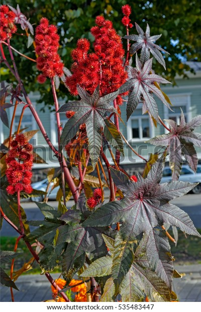 Red prickly fruits of the castor oil plant (Ricinus communis), a species of flowering plant in the spurge family, Euphorbiaceae