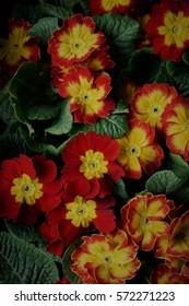 Red primroses