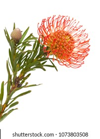 red protea isolated on white background