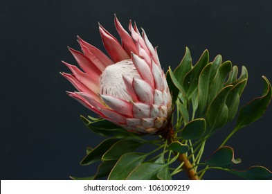 Red protea on black background