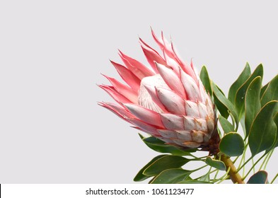 Red protea plant for background