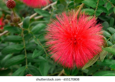 Red Pua Lehua flower in an outdoor garden