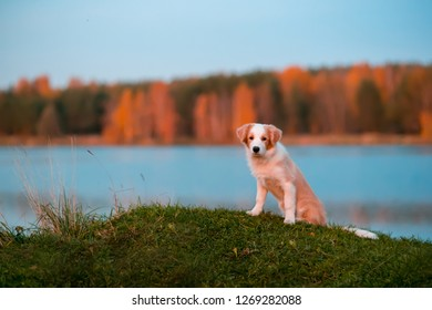 red puppy Border collie dog on grass. sunset. forest and lake on background