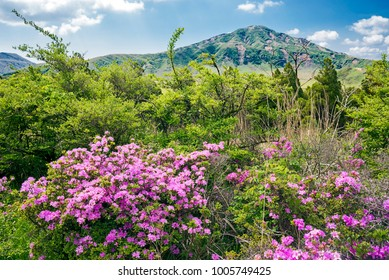 Red purple azalea flowers (Rhododendron kiusianum) in front of Mount Eboshidake under sky in Aso, Kumamoto