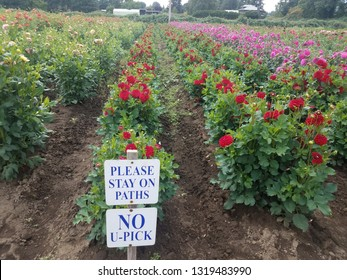 red and purple dahlia flowers in field with please stay on path no you pick signs