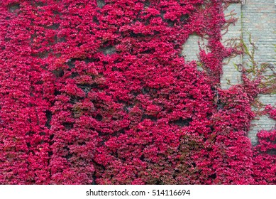 Red purple leaf climb a wall