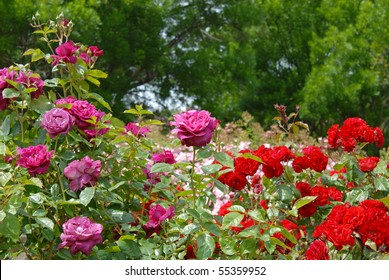 Red, Purple & Pink Roses