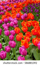 Red and purple tulips on a field - a sign of spring