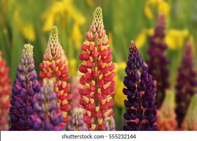 Red, purple, yellow lupine. Field unpretentious flowers. Plant green manure. Perennials for the garden landscape. High flower.