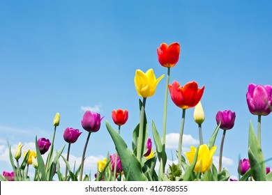Red, purple and yellow tulips against blue sky with white clouds