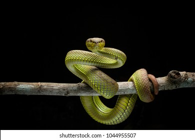 red purpo is one type of viper indonesia, this purpo type snake is beautiful and interesting but has a high venom. This viper has another color variant of green purpo and black pur
