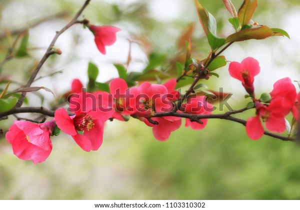 Red Quince Chaenomeles flower branch