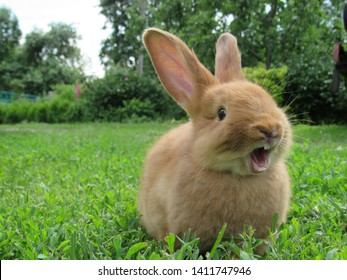 Red rabbit on green grass. Home decorative rabbit outdoors. Little bunny. Rabbit with open mouth is yawning. easter bunny.