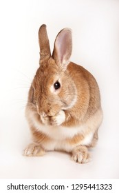 red rabbit washes his face (isolated on white)