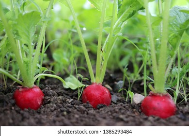 Red radish plant in soil. Radish growing in the garden bed.