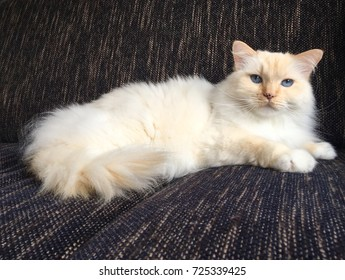 Red ragdoll cat with blue eyes laying on a dark couch