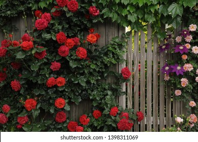 Red rambling roses bloomed on a wooden fence
