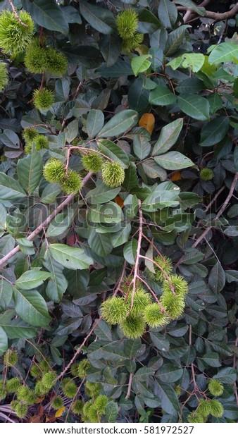 Red rambutan Nephelium lappaceum on broun board. Fruit tropical tree of the family Sapindaceae