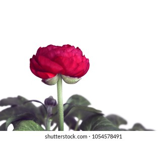 Red Ranunculus Flowers against White Background