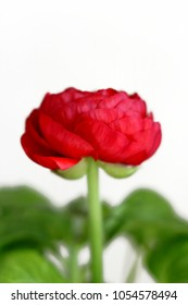 Red Ranunculus Flowers against White Background Closeup